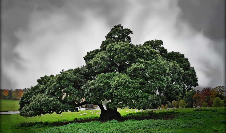 дерево, большое, деревя, овцы, пастбище, priroda, нравится,