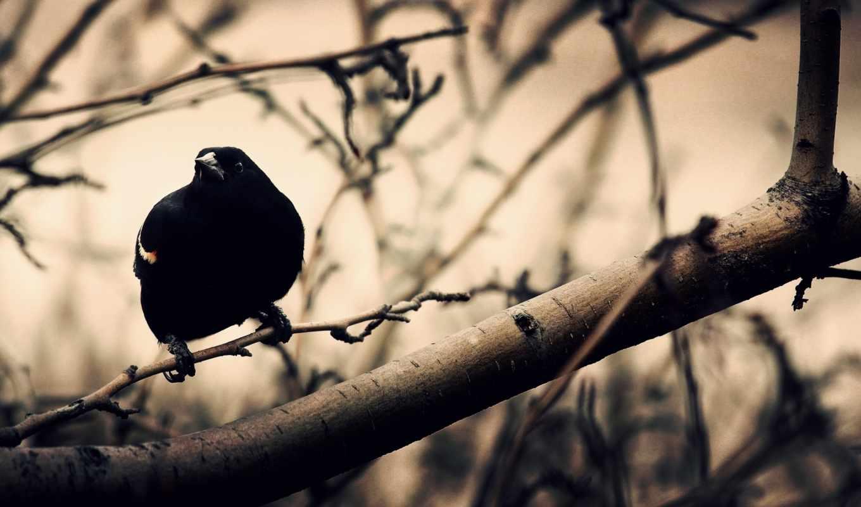 ворон, ratio, птица,