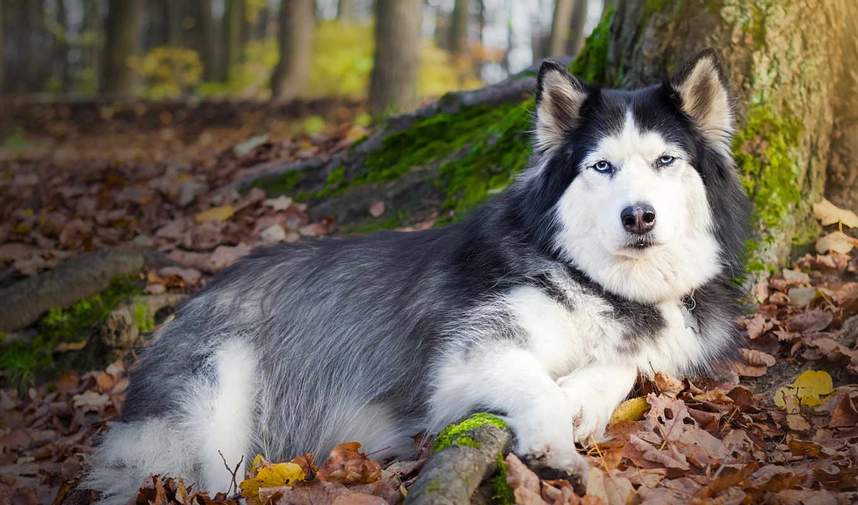 хаски, собака, листья, графика,