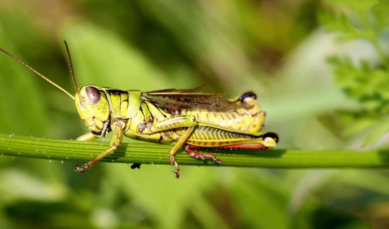 кузнечик, grasshoppers, photos, desktop, blue, cheap, pictures, you,