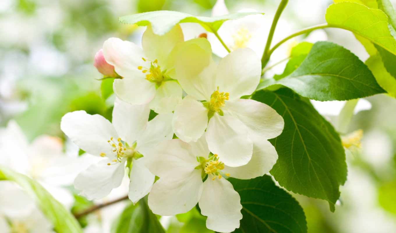 весна, цветы, картинка, цветение, cherry, белые, лепестки, Сакура,