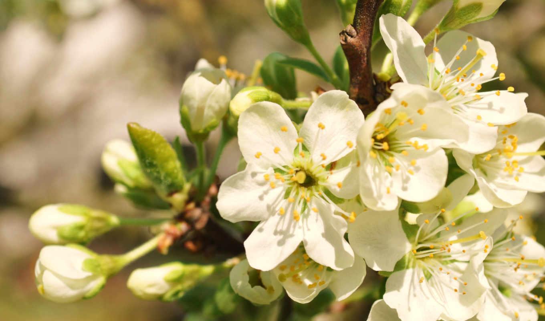 весна, apple, branch, color, цветы, макро, рисунки,