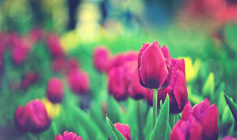 тюльпан, hoa, tulips, desktop, цветы, garden,