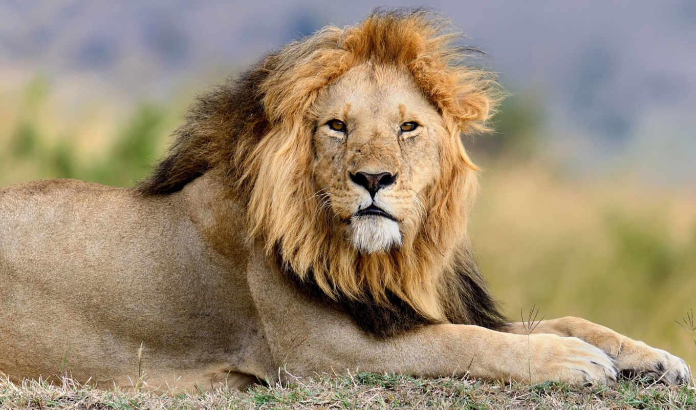 león, fondo, humo, oscuro, fotos, stock, imágenes, regalías, millones,