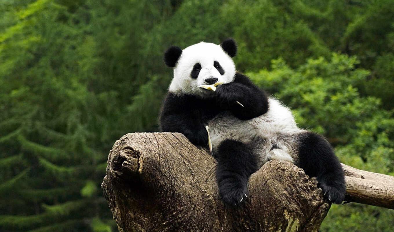 панда, сидит, дереве, бамбук, кушает,