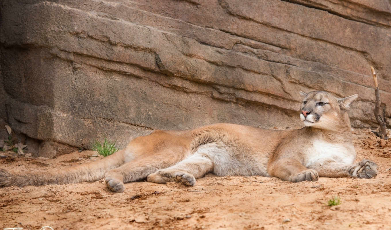 zhivotnye, cougar, категории, lion,