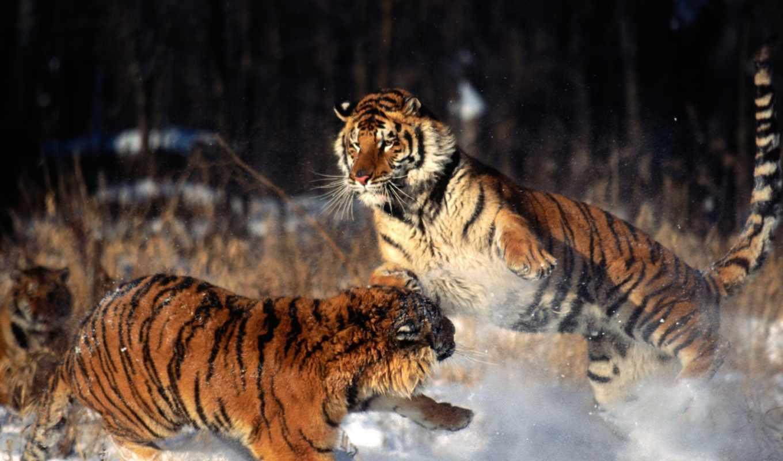 tigres, imágenes, fotos, leones, fondos, animales, imagenes, peleando,