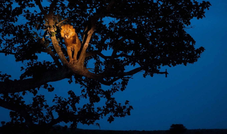 lion, парке, дереве, national, национальном, geographic, королевы, елизаветы, фотографий, ноября,