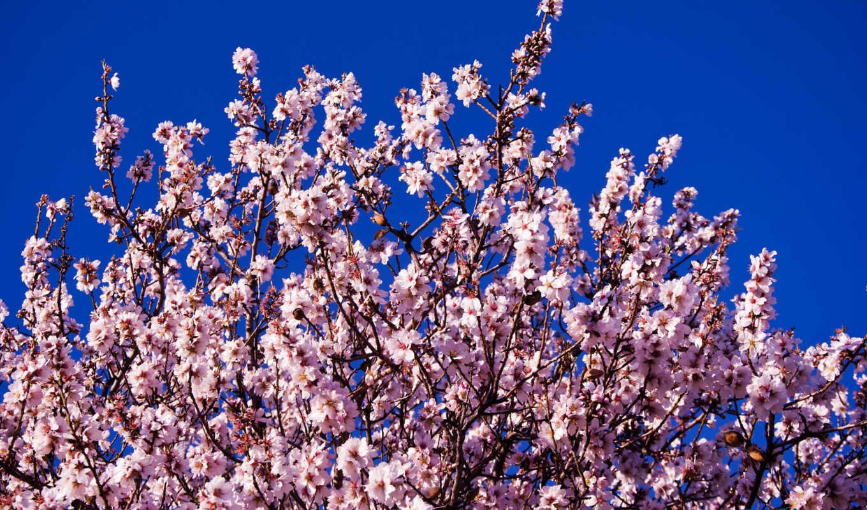 blue, fone, неба, разных, цветущая, цветы, разрешениях, cherry, Сакура,