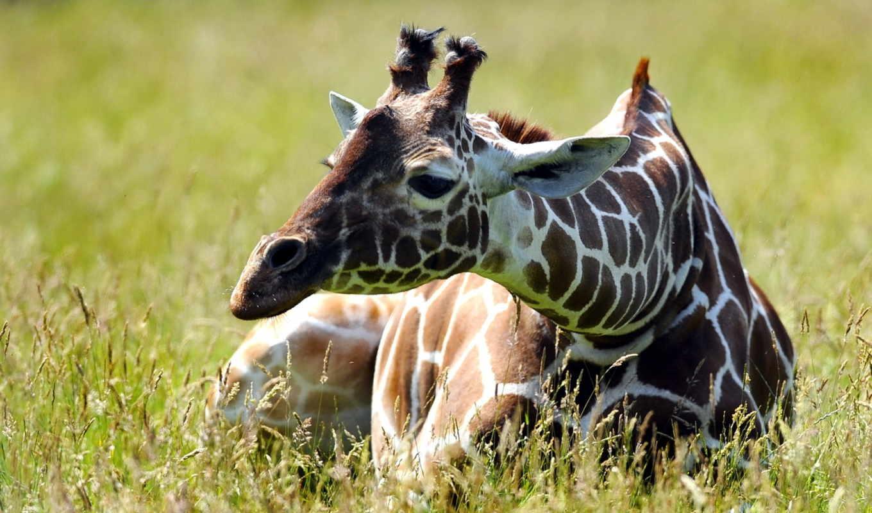 жираф,