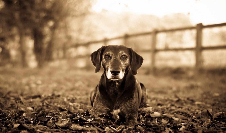 собака, dogs, this, you, mac, овчарка, german,