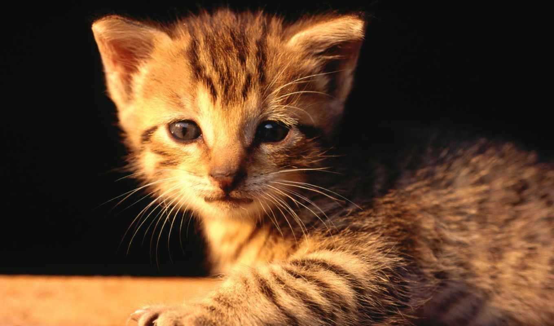 ,мордочка, котенок, жалостлевый, грусная, кошки,