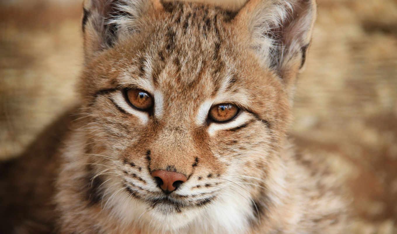 рысь, кошка, хищник, дикая, животные, взгляд, морда, усы, зима, лес, крупный, cats, план,