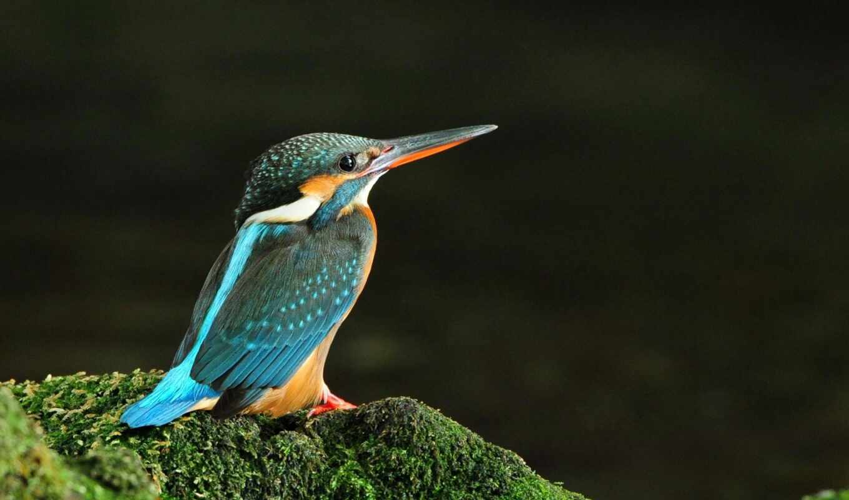 share, ценит, никто, главная, kingfisher, птицы,