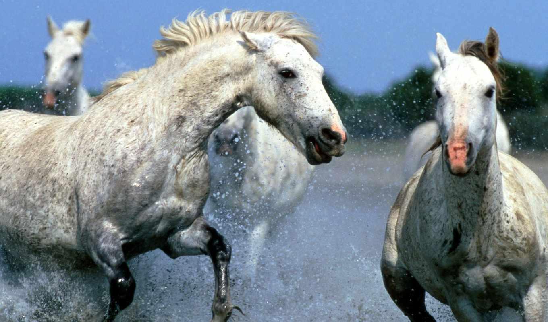 лошади, воде, бегут,