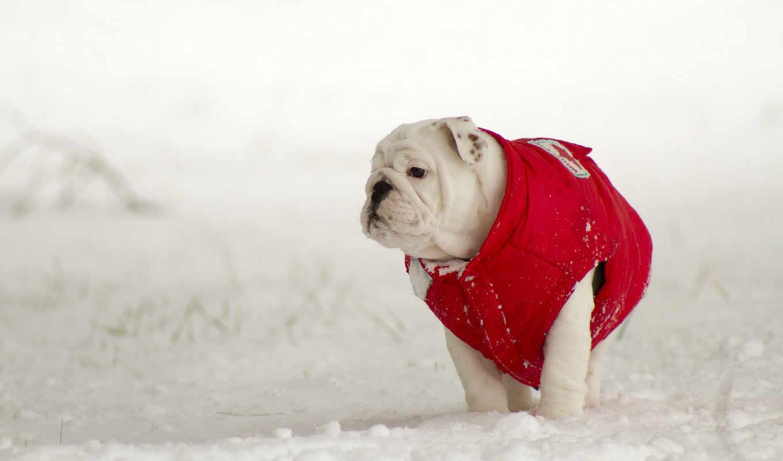английский, бульдог, зима, собака, снег,