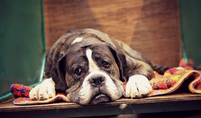 boxer, собака, разных, породы, разрешениях, web, pack,