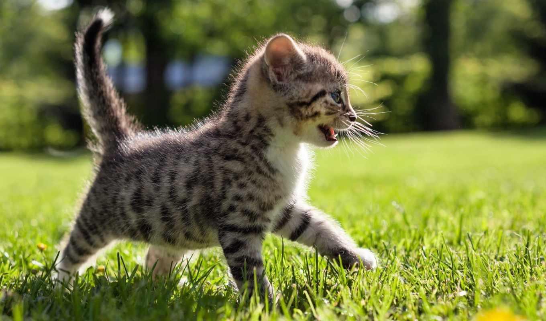 природа, summer, котенок, sun, кот, тигр, кошки, картинка, трава, zhivotnye,