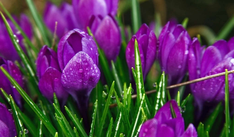 цветы, природа, капли, роса, крокусы, purple, зелёный, дождь, color, растения,