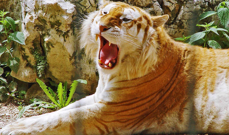 animal, animales, об, see, albino, tigre,