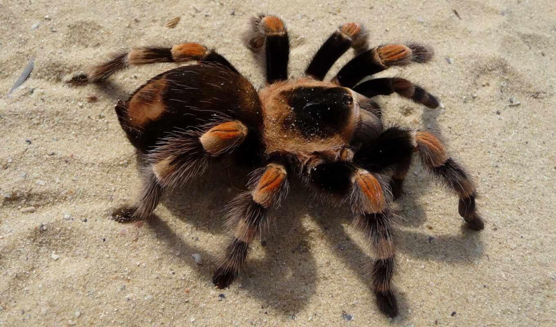 тарантул, домашние, uslovie, pauk, пауков, птицеед, содержат, домашний, этот, brazilskii, brachypelma