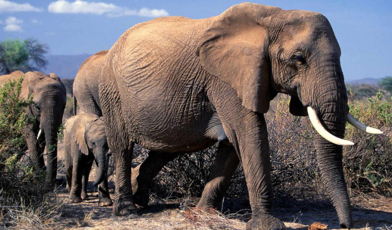 слон, african, слоны,