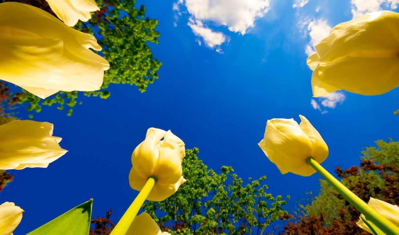 желтые, тюльпаны, неба, fone, цветы, красивые,