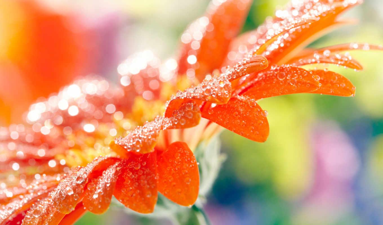 гербера, каплях, росы, drops, dew, download,
