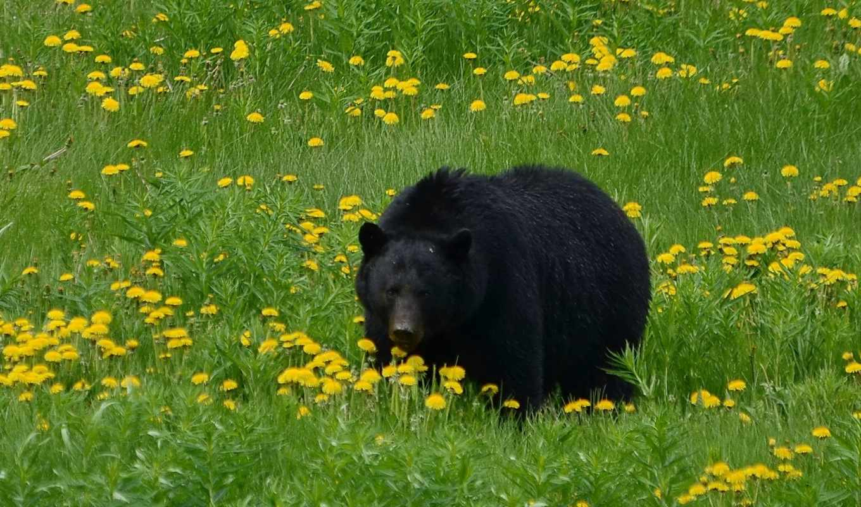 медведь, brunatny, цветы, niedzwiedz, черный, июня, одуванчики,