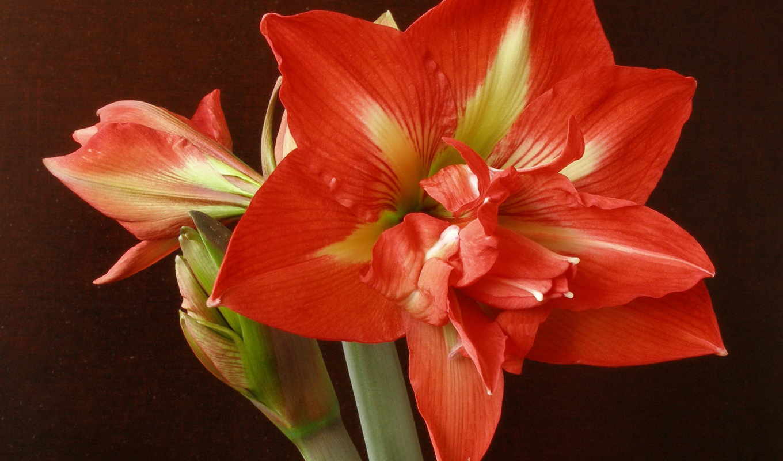 цветы, амариллис, red,
