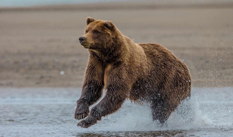 ,медведь,река,охота,бурый,
