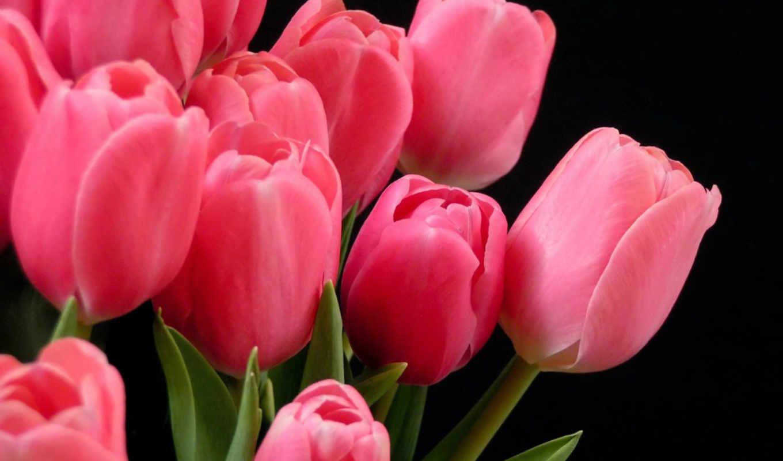 тюльпаны, цветы, розовые, красивые, весна,