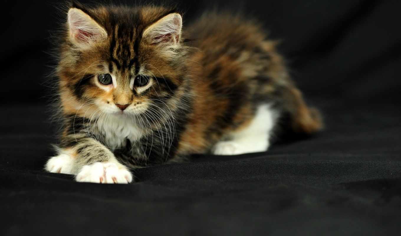 кошки, котенок, серый