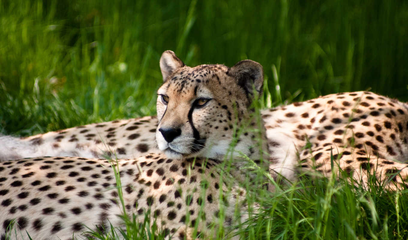 wallpaper, cheetah, гепард, animals, трава, hd, grass, wallpapers, similar, cheetahs, monitor,
