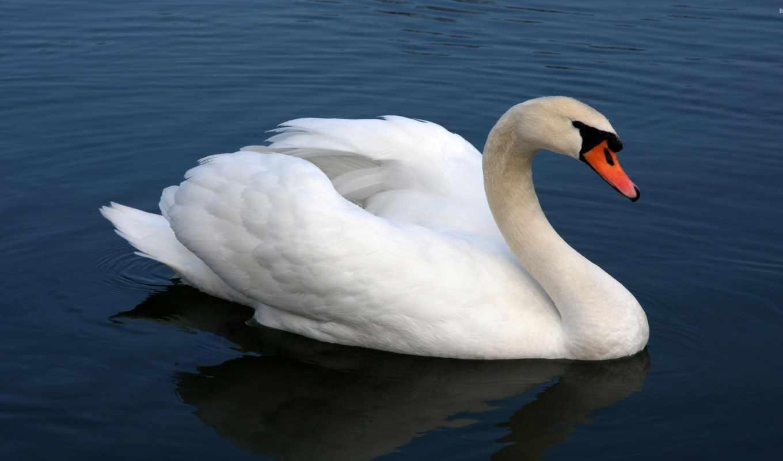 ,лебедь, лебеди, белый,