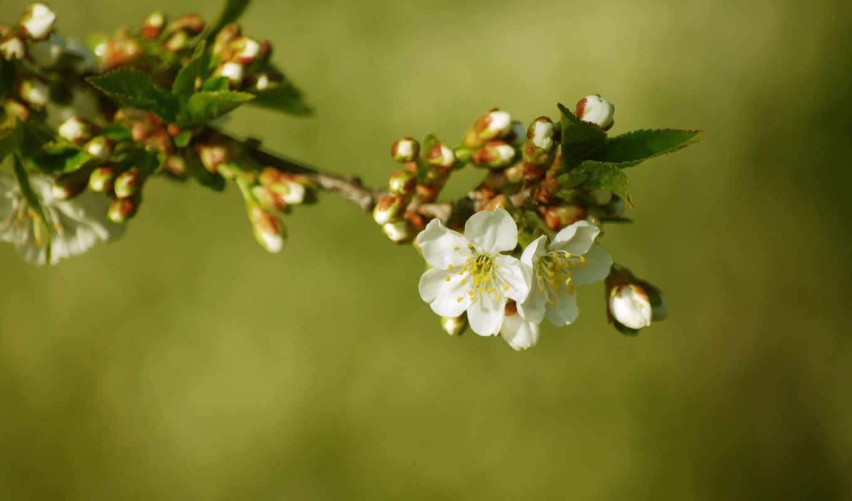 дерево, шишки, цветы, branch, макро, весна, цветение, фотопанно, белые, cherry,