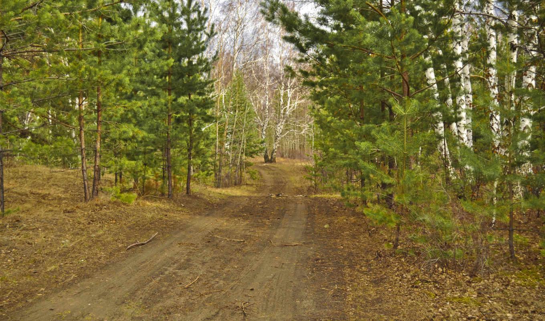 ,сосны, сосна, береза, дорога, лес,