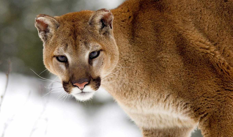 cougar, puma, animal, winter, пумы, montana, free, cougars,