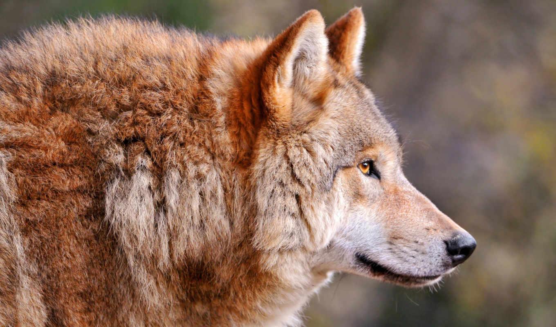 страница, страны, long, хищник, язык, волк, волки, облизываться,