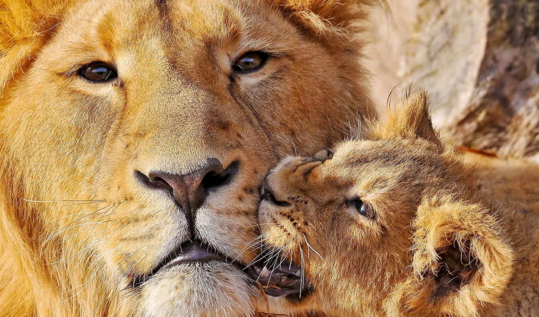 львица, детёныш, lion, животные, африка, сафари,
