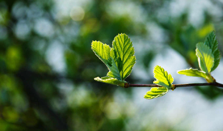 весна, макро, листва, branch, зелёная,