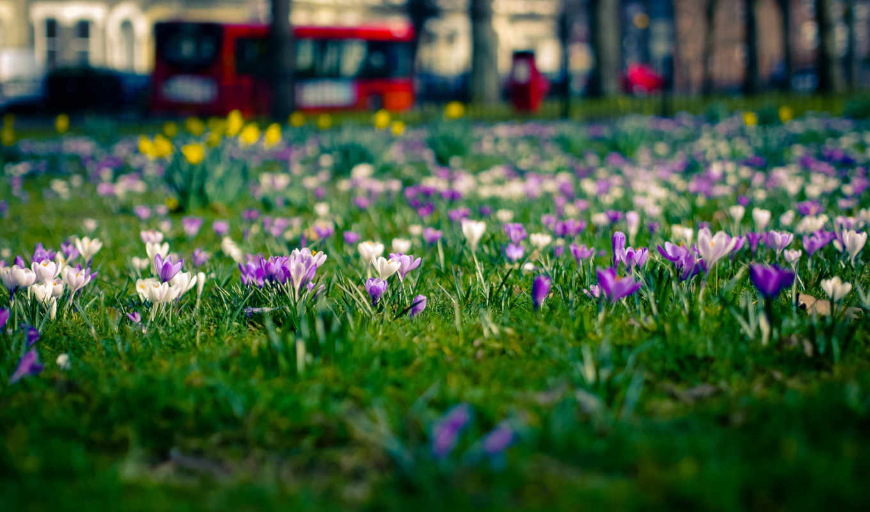 цветы, весна, крокусы, london, поляна, город,