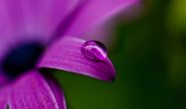 макро, purple, цветы, роса, drop, mauve,