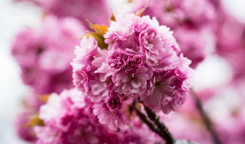розовый, природа, desktop, лепестки, flowers, carnations, free,
