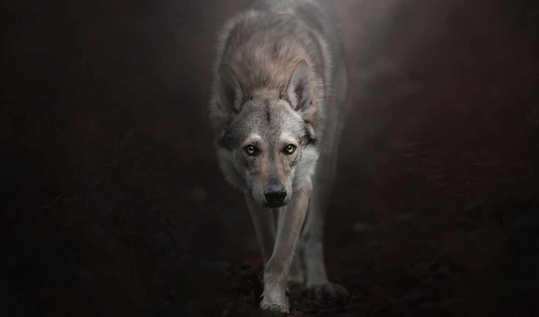 hunt, волк