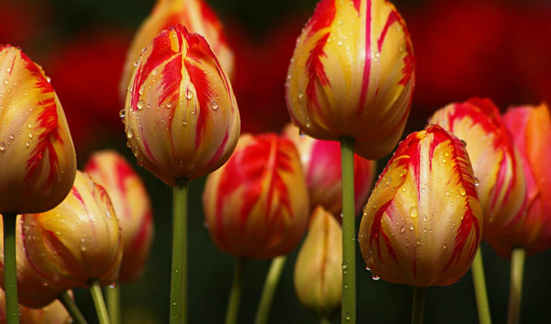 природа, цветы, то, они, высоком, архиве, желтые, тюльпаны,