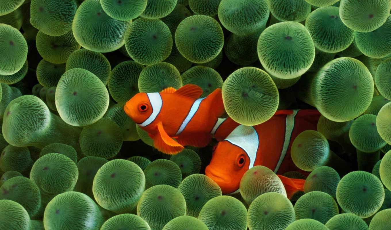 рыбы, fish, клоун, клоуны, рыбки, водоросли,