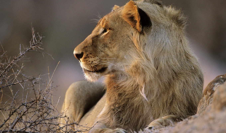 lion, het, park, ван, met, львы, крюгер,