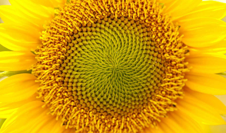 подсолнух, желтый, солне, цветы,