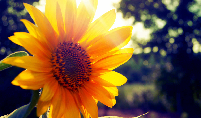 summer, подсолнух, солнечный, свет, взгляд, sun, природа,